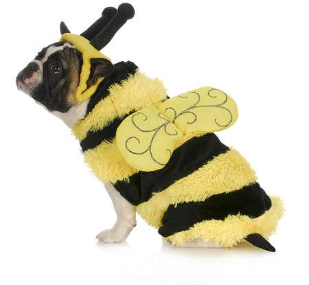 perros vestidos: abeja perro que lleva traje - bulldog francés vestido como un abejorro sobre fondo blanco