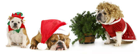 christmas bulldogs - Santa, Mrs. Claus and an elf sitting with a Christmas tree on white background photo