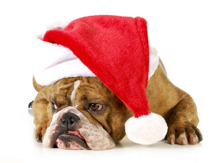 santa dog - english bulldog wearing santa hat laying down on white background