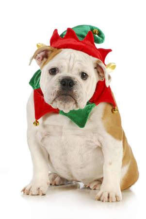 dog christmas elf - english bulldog dressed in elf costume sitting on white background
