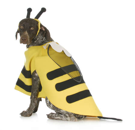 dog wearing bee costume - german short haired pointer in bumble bee costume Stock Photo - 16459862
