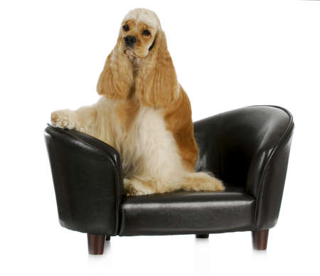 cute dogs: dog on the couch - american cocker spaniel sitting on the couch