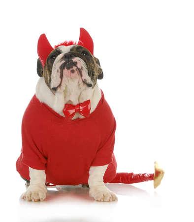 bad dog - english bulldog dressed up like a devil isolated on white background photo