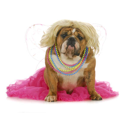 spoiled: female dog - english bulldog wearing blonde wig and pink skirt looking at viewer isolated on white background