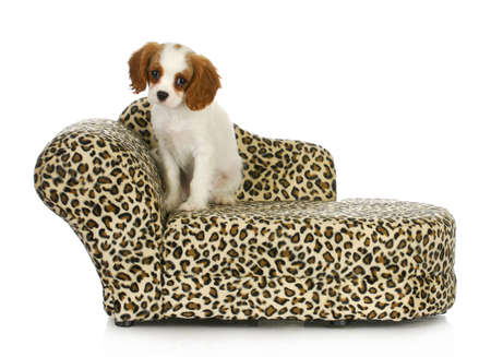 cavalier: cute puppy - cavalier king charles spaniel sitting on a dog bed isolated on white background