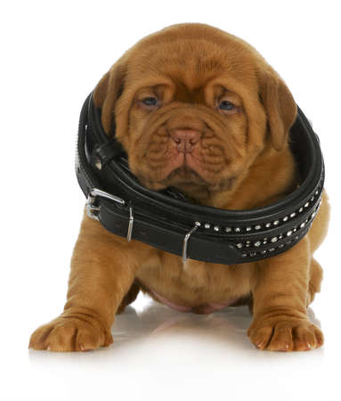 dogue de bordeaux: puppy growth - dogue de bordeaux puppy wearing dog collar that is too big - 4 weeks old