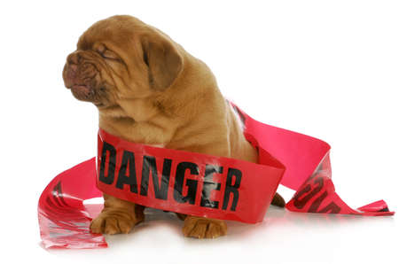 hindering: bad puppy - dogue de bordeaux puppy wrapped up in danger tape on white background - 4 weeks old