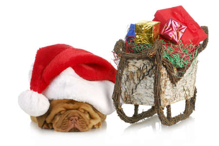 santa's sleigh - dogue de bordeaux puppy santa laying beside sleigh full of presents photo