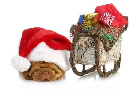 sled dog: santas sleigh - dogue de bordeaux puppy santa laying beside sleigh full of presents