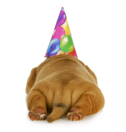 birthday dog - dogue de bordeaux puppy wearing birthday hat photographed from the rear view
