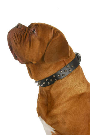 spiked: dogue de bordeaux wearing spiked collar isolated on white background