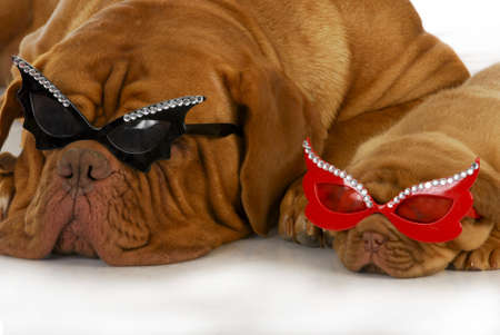 rock star dogs - dogue de bordeaux mother and puppy wearing matching glasses on white background photo
