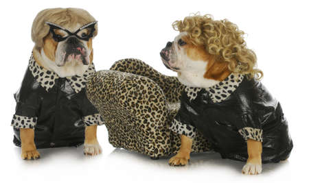 diva dogs - two female english bulldogs wearing blonde wigs dressed up in black leather coats  photo