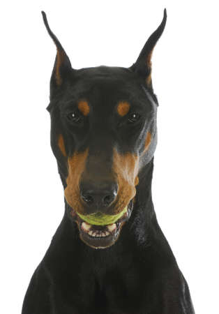 denture: dog with ball - doberman pinscher with tennis ball in mouth isolated on white background