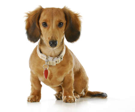 quizzical: puppy wearing collar and dog tag - long haired dachshund sitting looking at viewer  Stock Photo