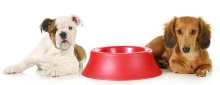 feeding the dog - miniature dachshund and english bulldog puppy laying beside empty food dish waiting to be fed