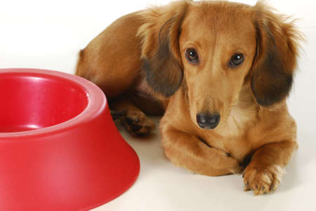 doxie: dog waiting to be fed - long haired dachshund laying beside empty bowl on white background Stock Photo