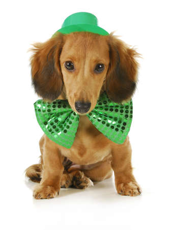 wiener dog: St. Patricks Day dog - long haired dachshund wearing green hat and bowtie sitting on white background Stock Photo