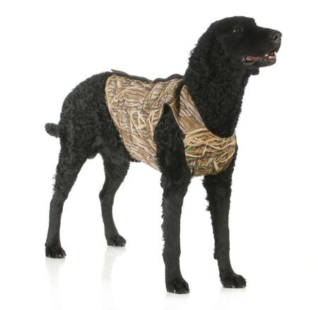 coated: hunting dog - curly coated retriever wearing hunting vest standing with reflection on white background Stock Photo