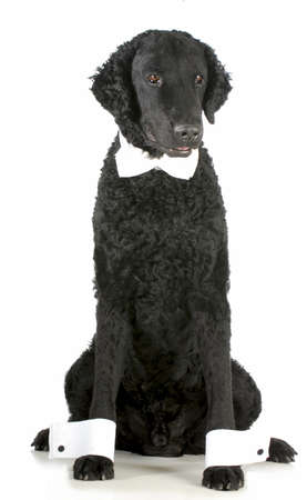 formal dog - curly coated retriever dressed up in bow tie and cuffs on white background photo