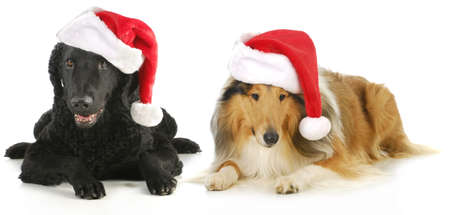 lassie: christmas dogs - curly coated retriever and rough collie wearing santa hats isolated on white background Stock Photo