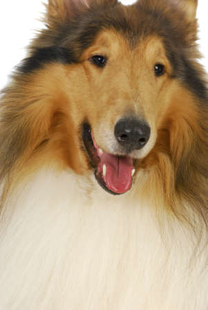 lassie: rough collie portrait on white background - male 2 years old