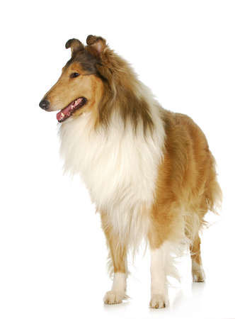 rough collie standing isolated on white background - 2 years old