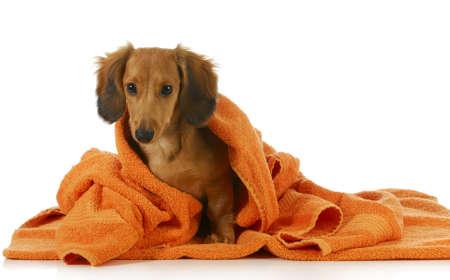 handt�cher: dog Bad - langhaarigen Dackel ist off mit orange Handtuch auf wei�em Hintergrund getrocknet Lizenzfreie Bilder