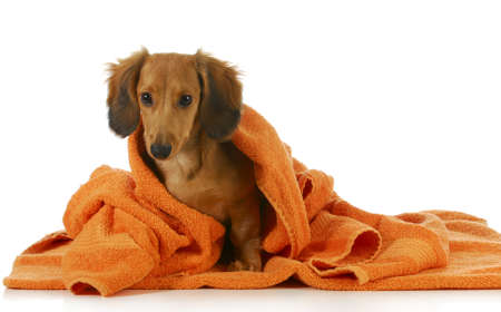 dog grooming: dog bath - long haired dachshund being dried off with orange towel on white background