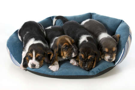 litter: litter of puppies - four basset hound puppies in a dog bed - 3 weeks old