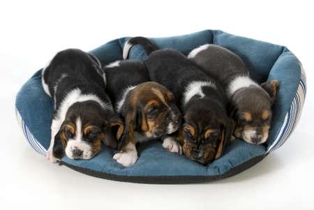 nidiata di cuccioli - quattro cuccioli Basset Hound in una base del cane - 3 settimane