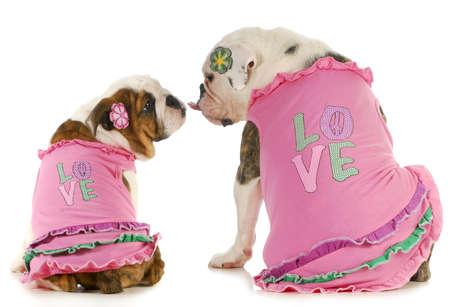 mujer perro: puppy love - Inglés bulldogs dos besos - con camisas a juego que dicen que el amor Foto de archivo