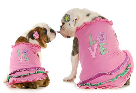puppy love - two english bulldogs kissing - wearing matching shirts that say love