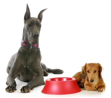 개 저녁 식사 시간 - 덴마크 종의 큰 개 및 미니어처 닥스 훈트 흰색 배경에 빈 음식 그릇 옆에 대기 스톡 콘텐츠
