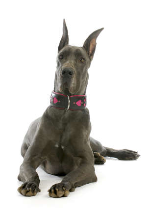 great dane wearing collar isolated on white background photo
