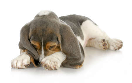 scratching: cute puppy - basset hound puppy burying his nose in paws with reflection on white background Stock Photo