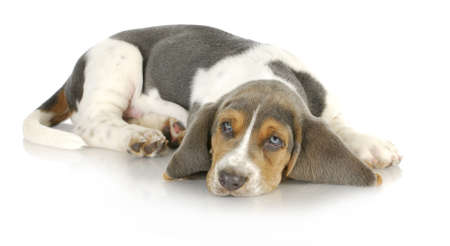 laying down: basset hound puppy laying down with reflection on white background