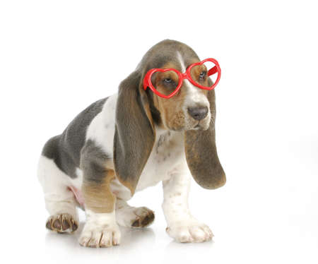 puppy love - basset hound puppy wearing heart shaped glasses with reflection on white background Stock Photo - 16693584