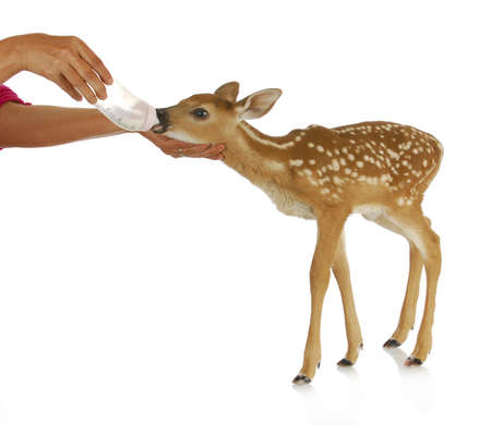 tailed: hand raising fawn - woman bottle feeding baby doe isolated on white background