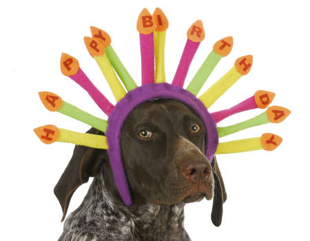 happy birthday dog - german short haired pointer wearing birthday candle headband on white background
