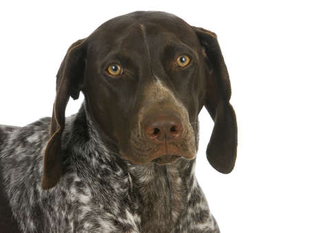 inquisitively: german short haired pointer portrait isolated on white background Stock Photo