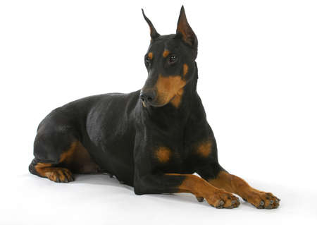 cropped shots: doberman pinscher laying down isolated on white background