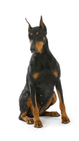 doberman pinscher sitting on white background - 3 years old female photo