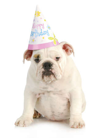 birthday dog - english bulldog wearing birthday hat on white background photo