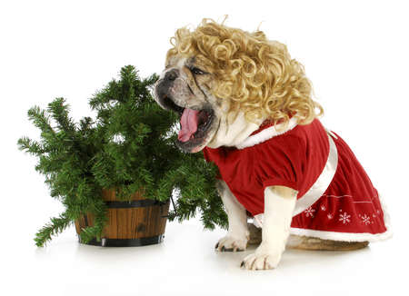 christmas dog - english bulldog wearing blonde wig and santa dress sitting beside christmas tree on white background Stock Photo - 16829658