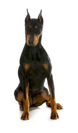 bitch: doberman pinscher seduta su bianco backgroun