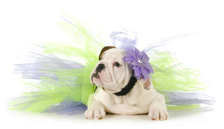 cute puppy - english bulldog puppy laying down wearing purple and green tutu on white background photo