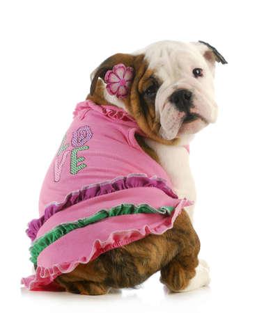 fancy dress costume: puppy love - english bulldog wearing pink shirt that says love on white background Stock Photo