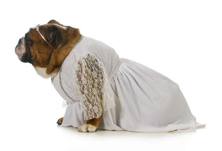 ugly mouth: dog bride - english bulldog dressed in white gown on white background