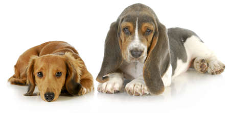 two puppies - basset hound and miniature dachshund puppy laying down looking at viewer on white background photo